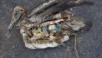dead albatross on Pacific Island showing the plastic it had eaten