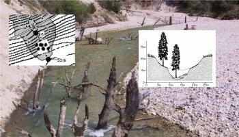 trees buried by hydraulic mining debris, being exhumed by stream erosion