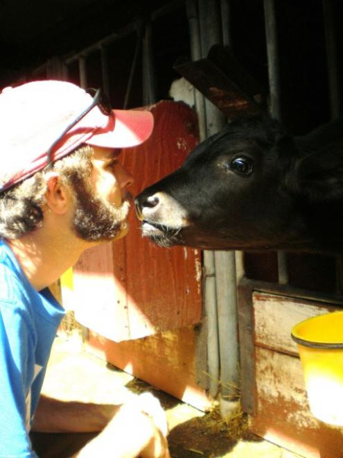 student and dairy cow